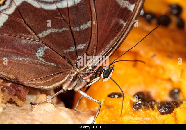 Blue Morpho Butterfly Feeding on Fruit - Stock Image