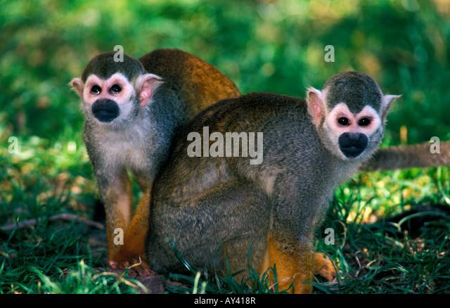 SQUIRREL MONKEY SAIMIRI SCIUREUS AMAZON RAINFOREST AMAZONAS BRAZIL MAZON AMAZONAS Amazonian America American animal - Stock-Bilder