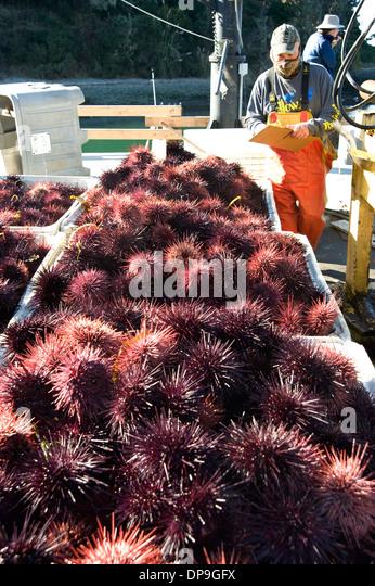 Worker surveys sea urchin catch at Fort Bragg, California - Stock Image