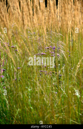 Tall verbena stock photos tall verbena stock images alamy for Grasses planting scheme