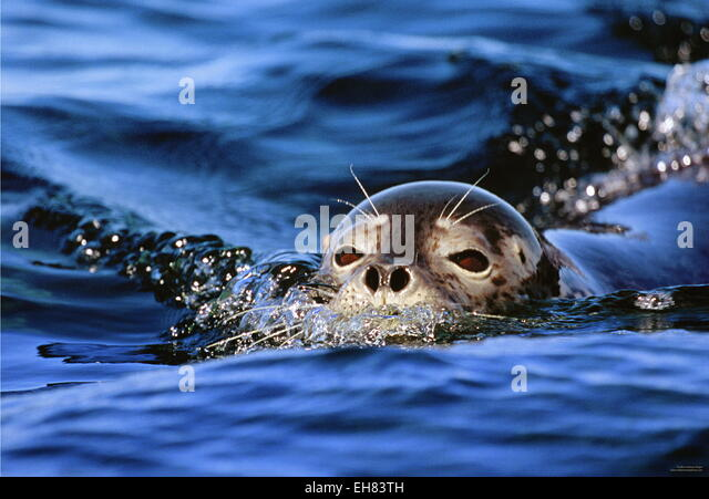 Sea lions in the ocean. Argentina. Peninsula Valdes. An excellent illustration. - Stock Image