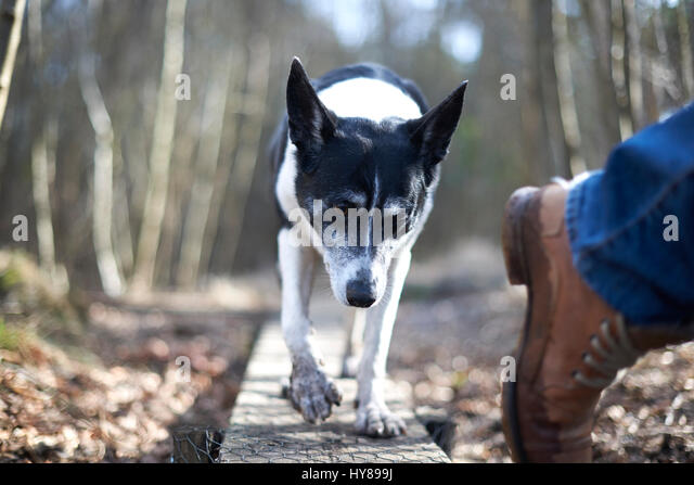 A dog on a walk in the woods - Stock Image