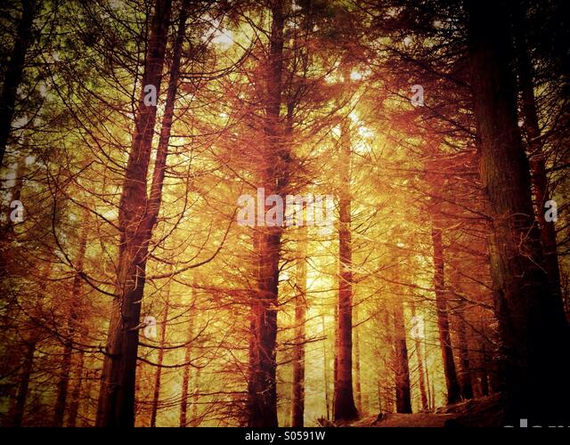 Atmospheric pine forest - Stock-Bilder