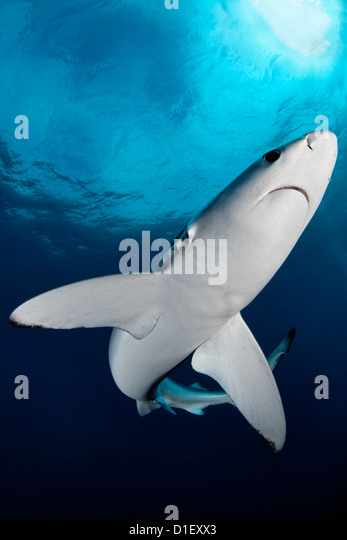 Blue Shark (Prionace glauca), Cape Point, Cape Town, South Africa, Atlantic Ocean, Indian Ocean, underwater shot - Stock Image