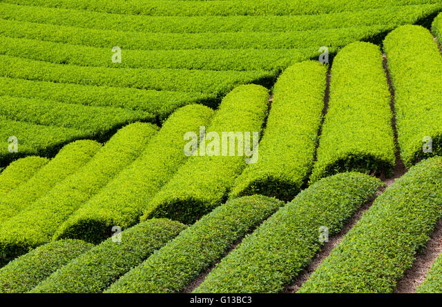 Growing green tea in Shizuoka, Japan - Stock Image