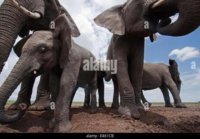 African elephant (Loxodonta africana) group drinking from waterhole - wide angle perspective. Masai Mara National - Stock-Bilder