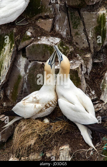 Northern Gannet (Morus bassanus) courtship behavior at Cape St. Mary's Ecological Reserve, Cape St. Mary's, - Stock Image