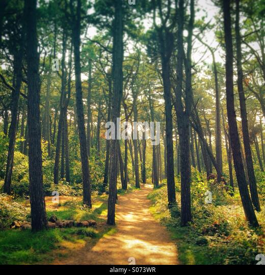 Beautiful late afternoon sunlight and dirt path through pine forest near Sankt-Peter-Ording, Nordfriesland, Schleswig - Stock Image