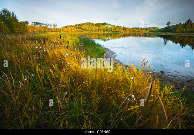 Grass And Cattails Beside A Pond In Autumn; Edmonton Alberta Canada - Stock Image