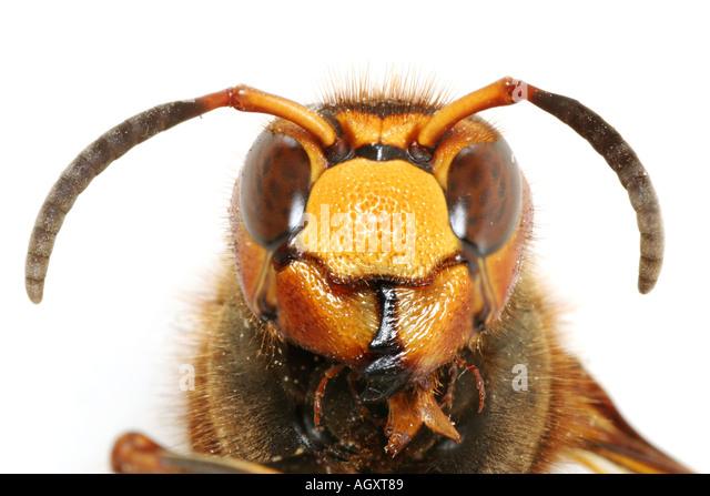 Head of a European Giant Hornet, Vespa Crabro - Stock Image
