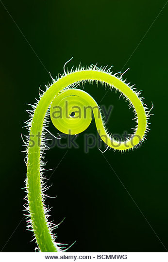 Cucumber plant tendril patterns - Stock Image