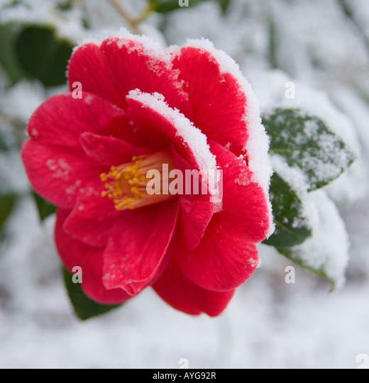 Camellia under a late snowfall in April - Stock-Bilder