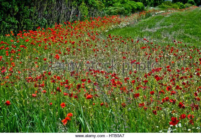 Field of red poppies - Stock Image