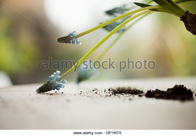 Grape hyacinth plant removed from flowerpot - Stock Image