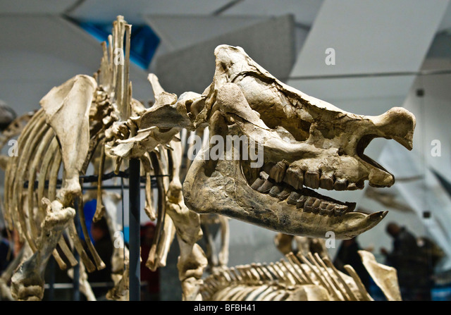 Extinct head and rhino skeleton, Scientific Name: Menoceras arikarense, Early Miocene Epoch, 20 million years old - Stock-Bilder