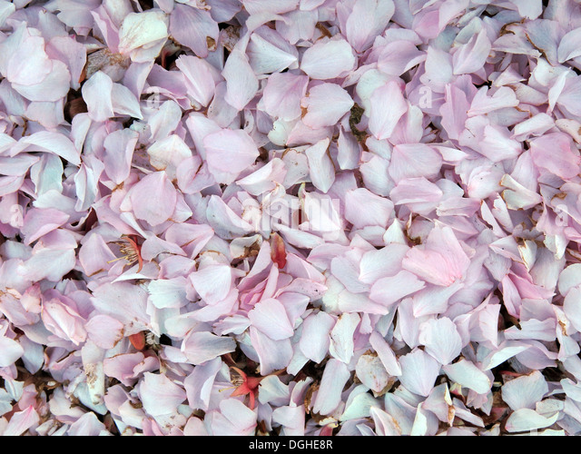Mixed pink spring blossom petals England UK - Stock Image