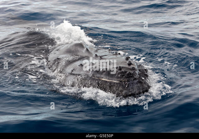 Humpback whale (Megaptera novaeangliae), at sea surface, Queensland, Pacific, Australia - Stock Image