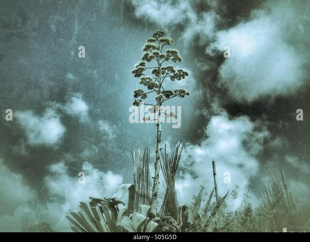 Conceptual landscape wiTh a flowering American Agave plant - Stock Image
