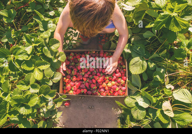 Overhead view of a boy picking strawberries - Stock Image