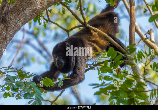A Mantled Howler Monkey (Alouatta palliata), known for it's call, eating leaves in tree; Nosara, Guanacaste - Stock Image