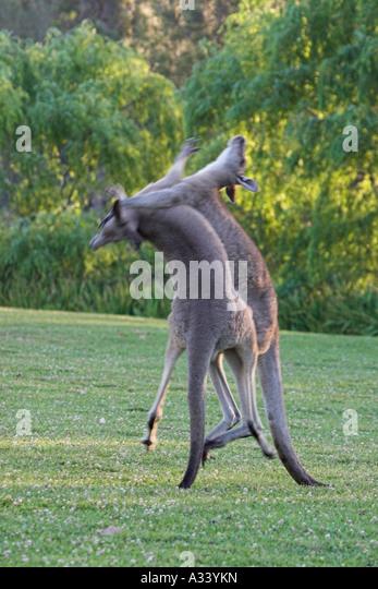 eastern grey kangaroos macropus giganteus, boxing - Stock Image