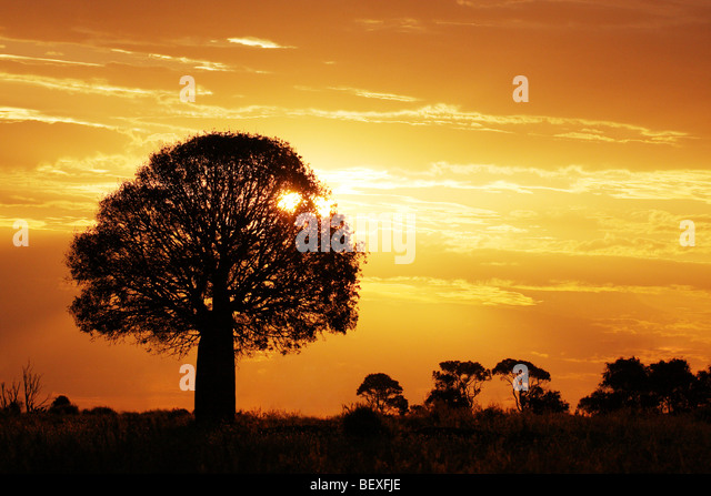 Bottle tree silhouetted in sunset Australia - Stock Image