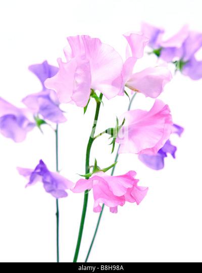 Pink and mauve Sweet peas. Latin name: Lathyrus odoratus - Stock Image