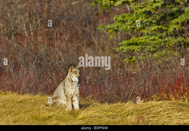 A wild Canadian Lynx sitting in some fall grasses - Stock-Bilder