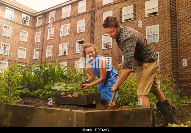 Couple with harvesting potatoes on council estate allotment - Stock Image