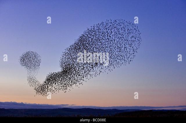 Starling (Sturnus vulgaris) flock in flight at dusk to winter roost. Gloucestershire - Stock-Bilder