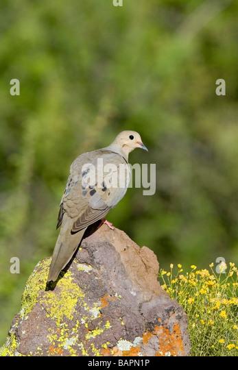 Mourning Dove Zenaida macoura Tucson ARIZONA United States 29 April Adult Columbidae - Stock Image