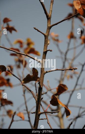 Malus domestica, Apple, fruit-branche - Stock Image