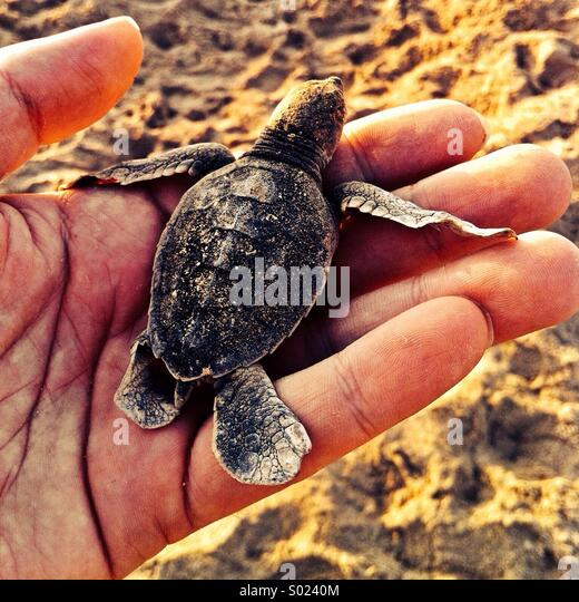 Baby turtle on man's hand - Stock Image