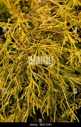 Chamaecyparis pisifera Lemon Thread, False Cypress, Sawara, Cupressaceae, Yellow, branch, AUREA, cyprysik groszkowy - Stock Image
