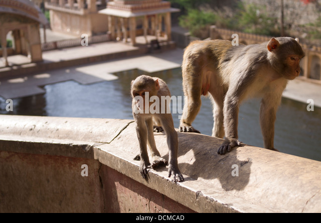 Macaque Monkey at Galta Monkey Palace / Temple - Jaipur, Rajasthan, India - Stock Image