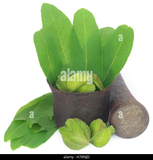 Green leaves of medicinal Terminalia arjuna with fruits in a vintage mortar with pestle - Stock Image