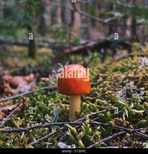 Little Mushroom - Stock Image