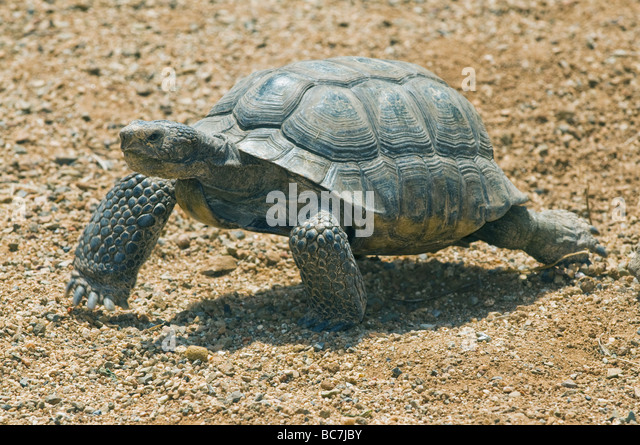 Desert Tortoise (Gopherus agassizii) Endangered, California, CAPTIVE - Stock-Bilder