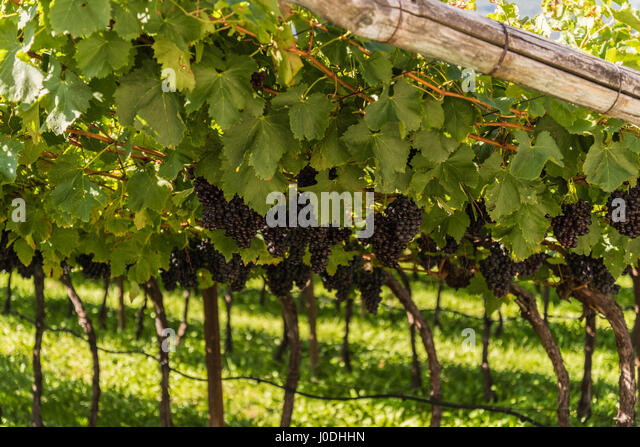 Red  wine grapes in the vineyard - Stock Image