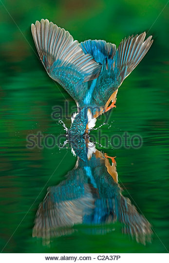 An adult male common kingfisher, Alcedo atthis, dives into the water. - Stock-Bilder
