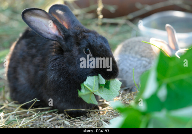 Black rabbit eating - Stock Image
