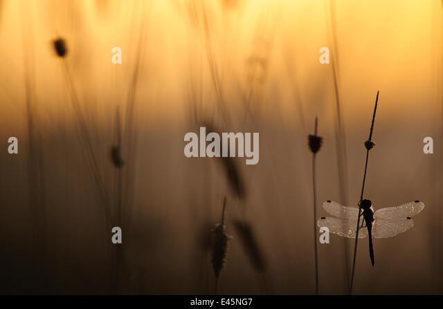 Misty morning with dragonfly silhouetted in dawn light, on lake, Estonia - Stock Image