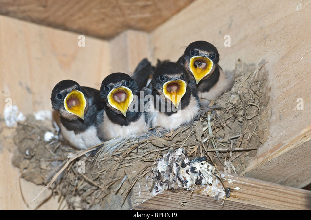 Barn Swallow Hirundo rustica young in nest Cley Norfolk September - Stock Image