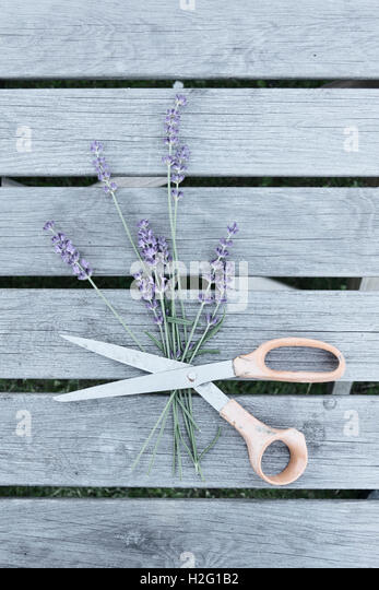 Lavender flowers and scissors on garden table. Still life with top view. - Stock-Bilder