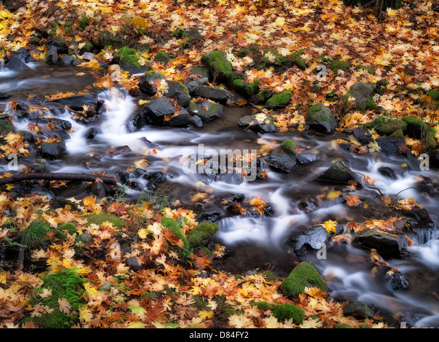 Starvation Creek and fall colored Big Leaf Maple leaves. Columbia River Gorge National Scenic Area, Oregon - Stock Image