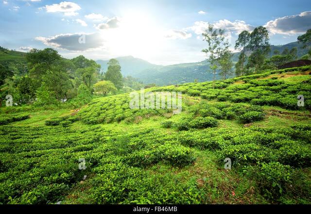 Tea fields of Nuwara Eliya in mountains - Stock-Bilder