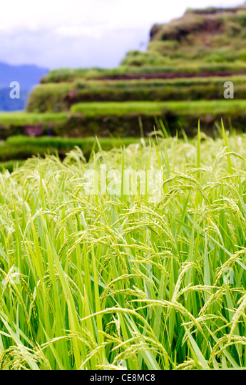 a close up shot of rice plants in foreground. - Stock-Bilder