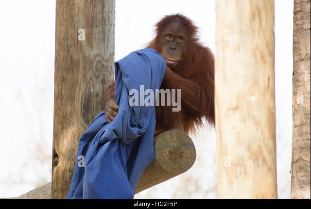 Shy, young orangutan perched on a wooden plank - Stock-Bilder