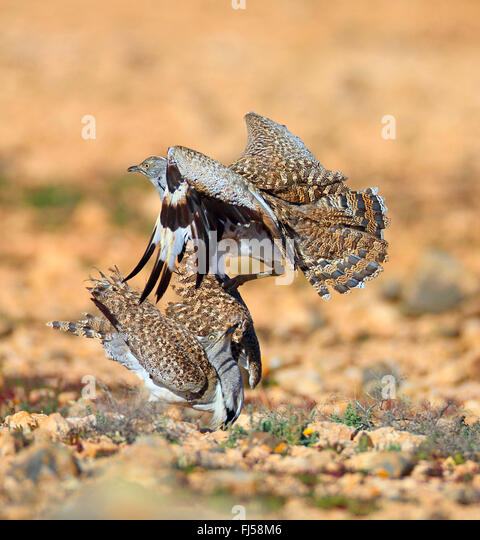 houbara bustard (Chlamydotis undulata fuerteventurae), two males at territorial fight, Canary Islands, Fuerteventura - Stock Image