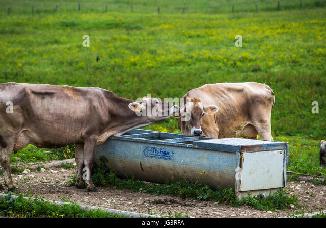 Cows (Swiss Braunvieh Breed) showing their feelings to each other next to the waterhole. - Stock Image